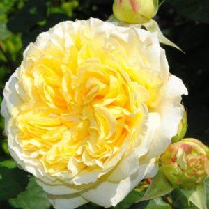 rosier julie andrieu